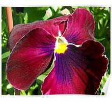 Red Pansy Poster