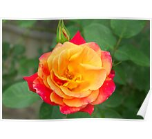 Rose Spectacular   Poster