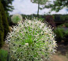 Allium flowers in the walled garden. by Yorkspalette