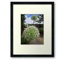 Allium flowers in the walled garden. Framed Print
