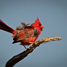 Windblown Juvenile Male Cardinal by Joe Jennelle
