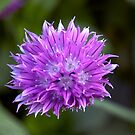 Chive by partridge