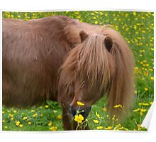 Tod Miniature Shetland Pony Poster