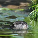Small Clawerd Otter in water. by Dorothy Thomson