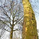 Two Plane trees  by steppeland