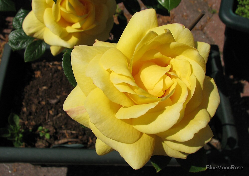 Sunlit Yellow Roses by BlueMoonRose