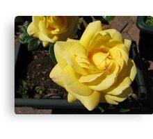 Sunlit Yellow Roses Canvas Print