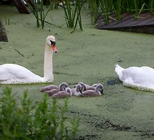 Swans in the Green by Mikell Herrick