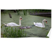 Swans in the Green Poster