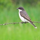 The Eastern Kingbird by lorilee
