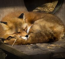 Sleepy fox by photogaet