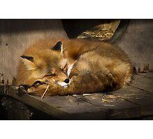 Sleepy fox Photographic Print