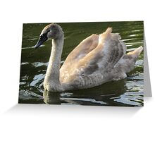 A Swan's Life Greeting Card