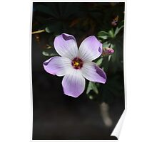 STUNNING OXALIS FLOWER CREATION Poster