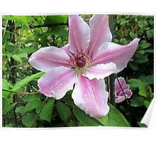 a lovely clematis outside my window Poster