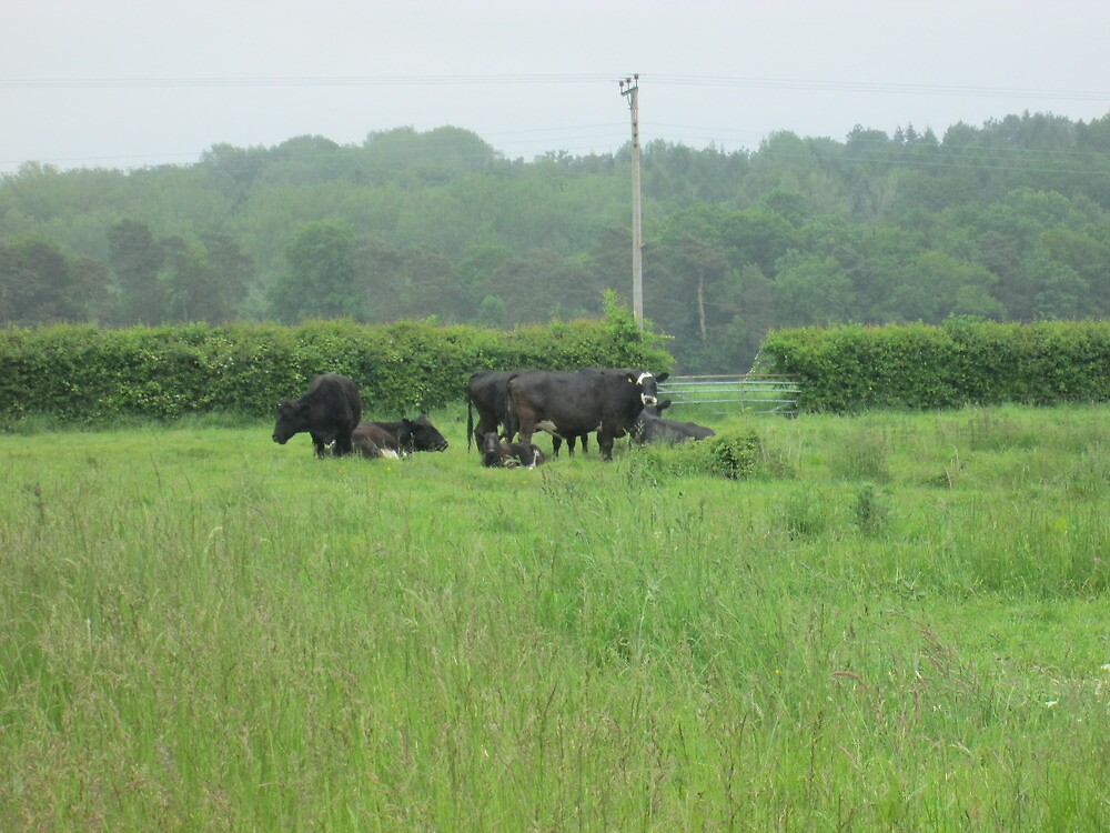 a small herd of cows by margaret hanks