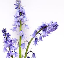Bluebell by hary60