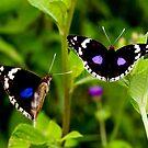 Blue Pansy– Junonia oenone oenone - Southern Serengeti Tazania by john  Lenagan