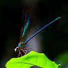 Blue Damsel  –  Vacona -   Madagascar by john  Lenagan