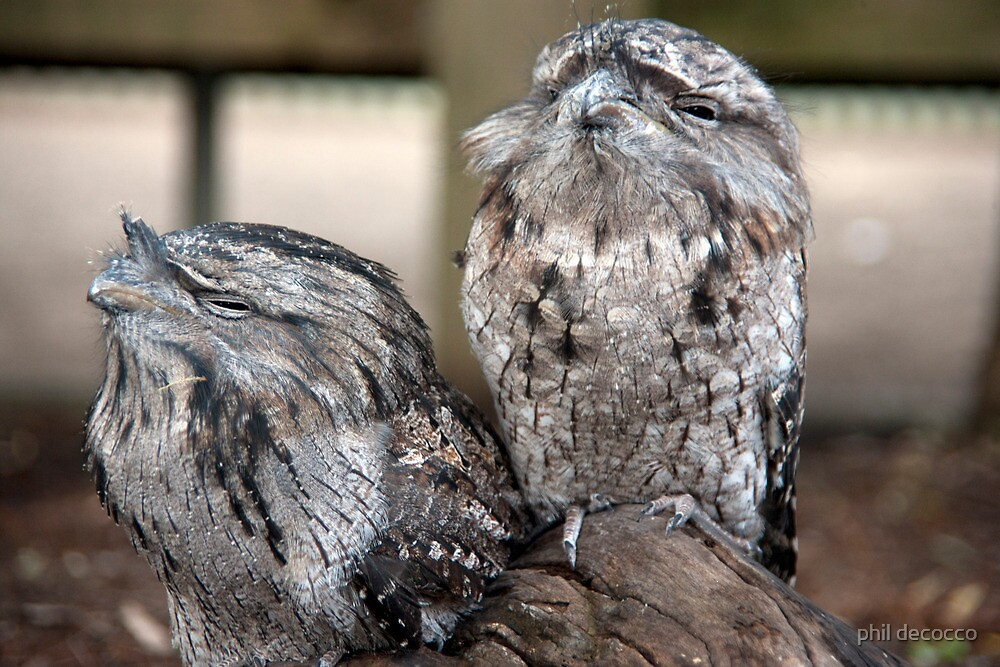 Tawny Frogmouth by phil decocco