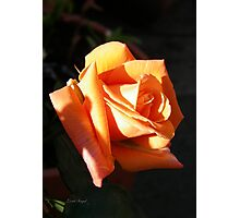 The Rose .. Burnt Amber Photographic Print