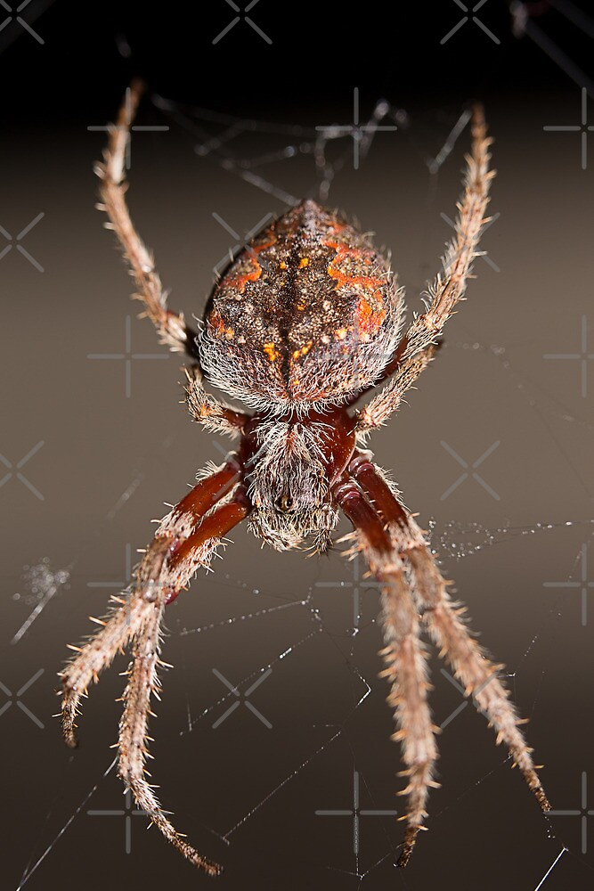 Eriophora Biapicata - Garden Spider by Sandra Chung