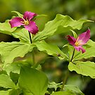 Magenta Trilliums by Wolf Read