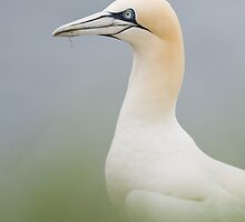 Northern Gannet by WaylanderImages