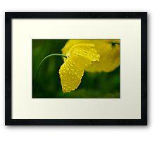Welsh Poppy   Framed Print