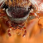 Christmas Beetle (Anoplognathus noideaus) by Alex Ford