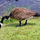 Canada Goose of Lake Junaluska, North Carolina by Paula Tohline  Calhoun
