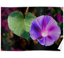 Beautiful Single Morning Glory Flower and Leaf Poster