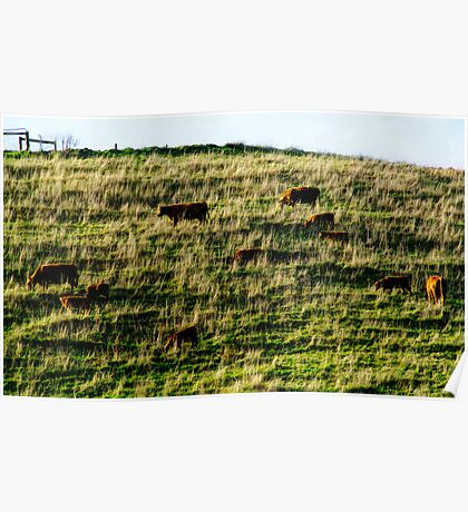 Cows on a Hill. Poster