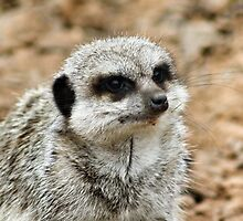 Hello Mister Meerkat by Emelyne Brown