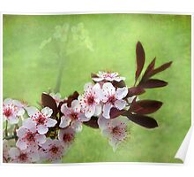 Sand Cherry In Bloom Poster