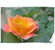 Nestled Rose Poster