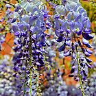 Wisteria Fronds by lynn carter