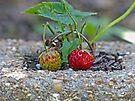 Starwberries by Susan S. Kline