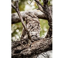 Papuan Frogmouth - Mum & Chick III Photographic Print