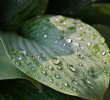The Hosta Drops by LarryB007