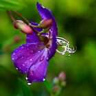 Lasiandra And Rain Drops by Noel Elliot