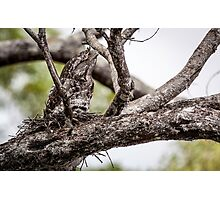 Papuan Frogmouth - Mum & Chick I Photographic Print