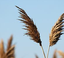 Winged Wheat by Durandal7