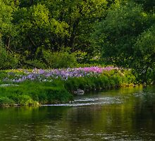 Pseudo Phlox Along The River's Edge  by jules572