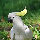 A Sulphur Crested Cockatoo in profile by jozi1