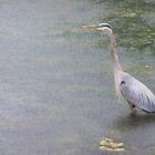 Blue Crane by wickedmommicked