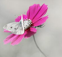 Beautiful - Cosmos and Moth by Clare Colins