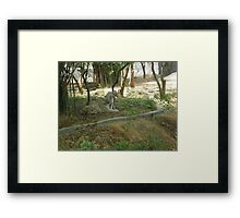 The Marvelous White Tigers Framed Print