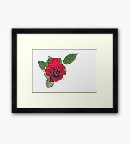 Just one rose Framed Print