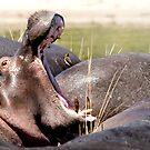 Hungry Hungry Hippo - Chobe NP Botswana by Beth  Wode